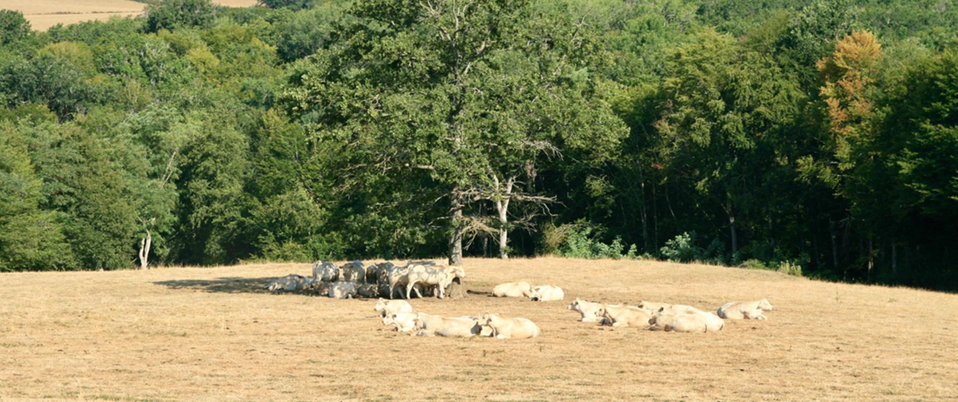 Les vaches vues du gîte