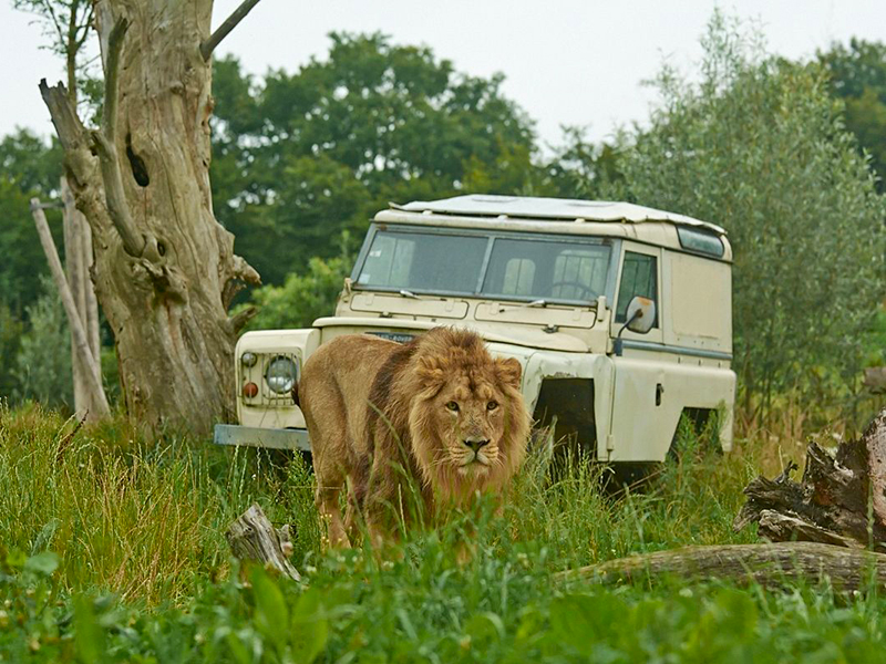 Activités alentours : Activités alentours : Lion dans le parc du Pal - Photo©Le Pal